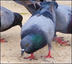 Dunedin bird control