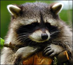 Dunedin raccoon removal